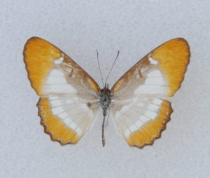 ♂ dorsal, avg ws 33 mm, Port Antonio, Portland, Jun., 1962.