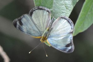 Fig. 901. ♂ showing metallic blue, Spur Tree, Manchester, Jul., 2016.