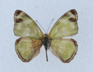 TOP LEFT ♂ dorsal, avg ws 29 mm, Duncans, Trelawny, Dec., 1990.