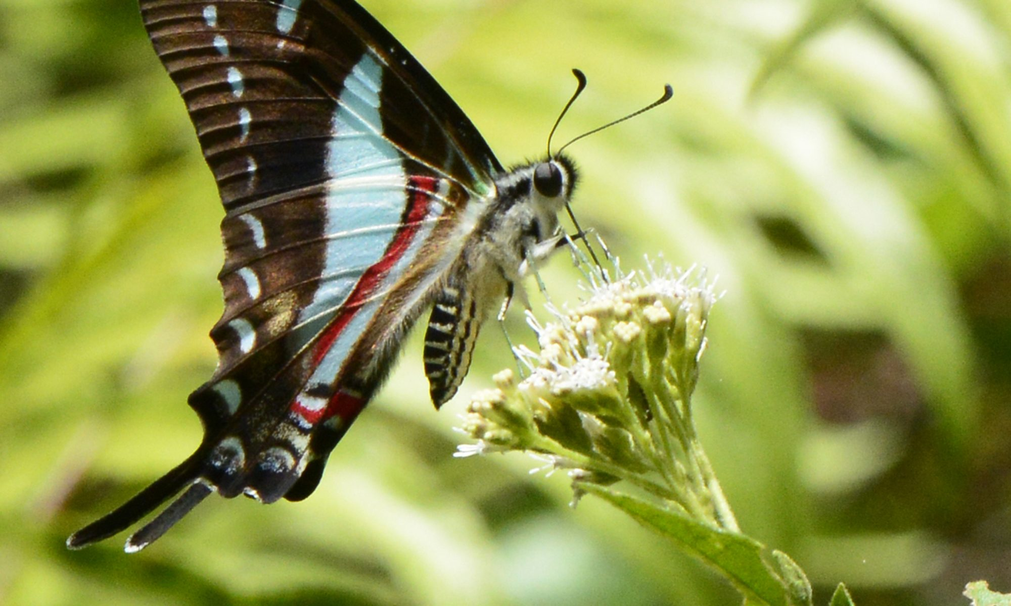 Discovering Jamaican Butterflies